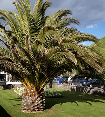 Date Palm (Torquay Palms) Tags: uk england west tree english phoenix beautiful gardens point island bay pier spring riviera britain south united country great kingdom palm devon promenade gb april canary 29 date tor seafront torquay palmera canaria westcountry devons the torbay 2016 canariensis pcanariensis