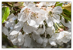 spring is so beautiful!! (Fay2603) Tags: light white plant flower tree green nature leaves cherry licht spring seasons blossom outdoor jahreszeiten natur pflanze frame grn blume bltter baum weis kirschblten fotorahmen blossomblte