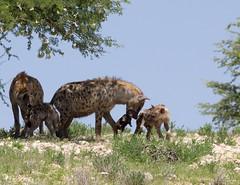 Introducing the newborn to the clan (jaffles) Tags: park family nature southafrica cub wildlife natur olympus safari clan kalahari hyena ktp südafrika transfrontier kgalagadi