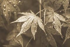 After the Rain (Lisa Bell Jamison) Tags: stilllife plant tree monochrome leaves rain droplets leaf drops maple bokeh depthoffield foliage japanesemaple foliate