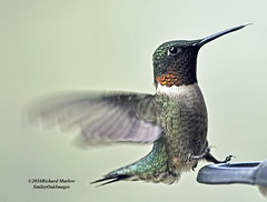 Hummingbird 16-1 (smileyoakimages) Tags: wild bird nature outdoors this spring hummingbird first