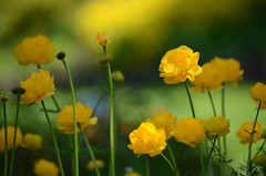 A Little Shine (tealaeves) Tags: flowers shadow green nature yellow garden washington nikon soft spokane simple d5100