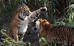 sumatran tiger bugerszoo JN6A5524 (j.a.kok) Tags: tiger sumatrantiger tijger burgerszoo pantheratigrissumatrae sumatraansetijger