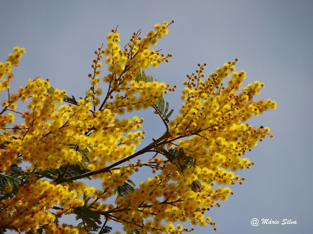 Águas Frias (Chaves) - ... flores de mimosa ...