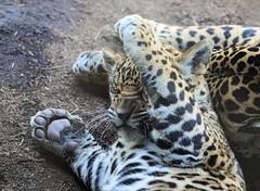 Monday Morning Blues (greekgal.esm) Tags: california animal cat mammal zoo feline san sony diego bigcat jaguar sandiegozoo carnivore valerio sdzoo nindiri sal70300g elephantodyssey sandiegozooglobal a77m2 a77mii