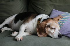 Flapjack's busy Saturday (cseeman) Tags: dog pets beagle dogs relaxing couch sofa sleepy lazy tired resting flappy flapjack