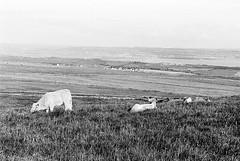Cliff of Moher 11 (Ian Atrus Gazzotti  iangazzotti.com) Tags: ireland blackandwhite bw monochrome analog 35mm cow nikon cows cliffs bn moher biancoenero irlanda scogliere f70