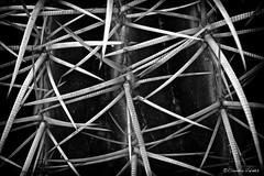 Defiance - Desafo (claudiov958) Tags: arizona cactus blackandwhite bw macro blancoynegro ngc thorns pretoebranco biancoenero espinas goldenbarrel afsmicronikkor60mmf28ged photoka nikond800e claudiovaldes