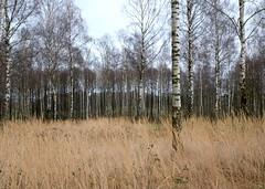 Meadow (fabiankoppers) Tags: grass landscape spring meadow birch