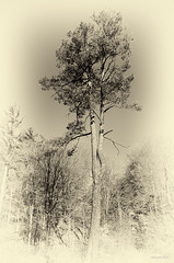 Arbol (rakelgoiri) Tags: trees naturaleza toronto ontario nature monochrome forest landscape arboles paisaje bosque urbanforest edwardgardens oldlooking antiqueplate rakelgoiri
