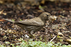House Finch (female) (christopheradler) Tags: california house finch nesting mexicanus haemorhous