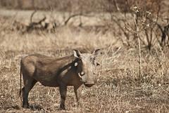 african warthog (Phacochoerus africanus) (delimaaaaaaaaa) Tags: africa trip southafrica safari viagem krugerpark reserva gamereserve frica safri fricadosul