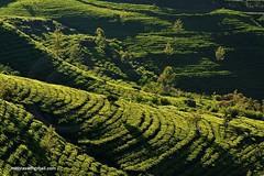 tea plantation (mithra srilanka) Tags: morninglight tea srilanka teaplantation teafields
