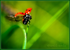 Eh oui, elle finit par s'envoler  In the end, she takes off ! (www.nathalie-chatelain-images.ch) Tags: red macro green nature animals rouge nikon insects vert animaux ladybirds insectes coccinelles
