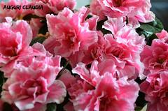 auguri Claudia (ballcla (Claudio Ballestra)) Tags: flowers flores fleurs amigo nikon friend ami fiori compleanno lombardia amica auguri 20aprile nikon7000 ballcla