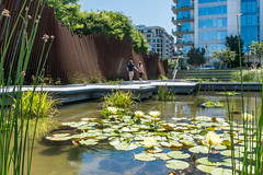 Tanner Springs Park (Postcards from Portland) Tags: park city summer urban green water oregon creek portland design pond weed native awesome thepearl waterlilies pacificnorthwest pdx grasses pnw wetland waterscape nymphaeaceae naturalistic lanscapedesign