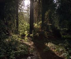 Redwoods @ Golden Gate Park Botanical Gardens (sheelkapur) Tags: california film analog iso100 kodak ishootfilm goldengate redwood dynamicrange 90mm intothesun ektar filmisnotdead