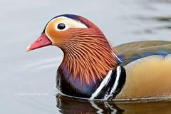 Mandarin - Manderijneend (Joke.Benschop) Tags: birds mandarin mandarijneend nikond810 nikonafs300 jokebenschop wwwjokebenschopcom geenlelijkeentje