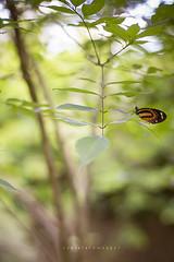 Breathe (Daniela Romanesi) Tags: tree verde green folhas nature leaves forest butterfly leaf borboleta breathe floresta rvore profundidadedecampo galho folhagem florestinha luznatural 0454 arpuro s151 estnciaclimtica