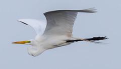 20160502-_74P3651.jpg (Lake Worth) Tags: bird nature birds animal animals florida outdoor wildlife wing feathers wetlands everglades waterbirds southflorida birdwatcher canonef500mmf4lisiiusm canoneos1dx
