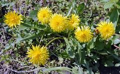 Lwenzahn (borntobewild1946) Tags: flower blossom nrw blume blte nordrheinwestfalen rheinland niederrhein lwenzahn copyrightbyberndloosborntobewild1946 lwenzahnpusteblumeeinepflanzezweigesichter mai2016