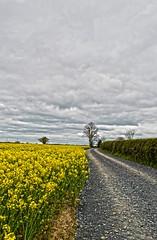 Follow the path (Sabrina O Brien) Tags: kilkenny ireland yellow tracks paths rapeseed