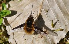 Wollschweber (Bombyliidae) (Hugo von Schreck) Tags: macro insect fly makro insekt fliege wollschweber bombyliidae tamron28300mmf3563divcpzda010 canoneos5dsr hugovonschreck
