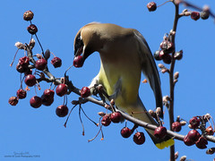Cedar Waxwing at Lorne Park IMG_4883 (Jennz World) Tags: sky ontario canada bird animal berries cedarwaxwing brantford lornepark jennifermlivick
