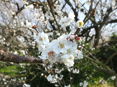 16i5267 (kimagurenote) Tags: apricot ume 梅 japaneseapricot ウメ prunusmume sogabairin 曽我梅林 神奈川県小田原市 odawarakanagawa