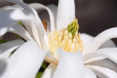 up close with magnolia (christiaan_25) Tags: white flower macro green nature yellow closeup season petals spring focus blossom inner stamens depthoffield bloom magnolia inside pistils