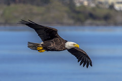 Bald Eagle (Paul Rioux) Tags: nature inflight eagle outdoor hunting baldeagle raptor predator westcoast seashore avian birdinflight westshore prioux