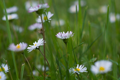 Daisies 20160429-DSC_7548 (mohan.ajmani) Tags: california flowers nature daisies landscape berkeley dof 2016