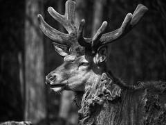 young dear (Florian Grundstein) Tags: portrait blackandwhite nature animal bayern dof bokeh olympus dear hirsch oberpfalz wildpark mft upperpalatinate