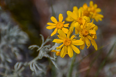 Common Woolly Sunflower (ajblake05) Tags: plants canada britishcolumbia northamerica coquitlam asteraceae lowermainland greatervancouver minnekhadaregionalpark oregonsunshine eriophyllumlanatum commonwoollysunflower
