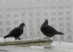 (cod_gabriel) Tags: fog pigeon pigeons officebuilding romania bucharest bucuresti bukarest roumanie boekarest bucarest ceata romnia porumbel porumbei bucureti bucareste cea