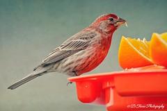 Time For Breakfast (Denise Trocio (D Trocio Photography)) Tags: bird nature fruit outdoors wildlife feathers birdfeeder feeder finch oranges housefinch springtime