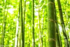 Arashiyama Bamboo Forest, Kyoto (Alexander.W.Photography) Tags: world travel red summer travelling green nature japan japanese ancient nikon view culture buddhism best  nippon tradition shinto japon nihon japani 2014 japn  honshu 2016 shintoism 2015 d610