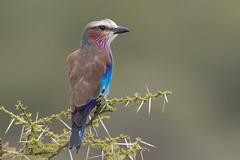 Lilac-breasted roller (VenaCos) Tags: africa bird birds tanzania safari roller serengeti lilacbreastedroller coraciascaudatus