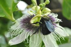 Passiflora pollination (beazambuja) Tags: brazil brasil natureza bee abelha nectar passiflora passionfruit apis pólen pollination ecologia polinização interação mamangava magangava