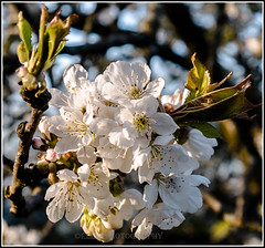in the light of the evening (Fay2603) Tags: light white flower tree leaves cherry evening licht blossom outdoor pflanze stamens grn blume blte bltter baum kirschblte zart abendlicht weis zweig textur staubgefse