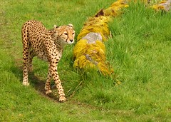 The Cheetah of Cheshire (WISEBUYS21) Tags: africa car animal speed cat big hunting running east leopard land cheetah spotted middle quick fastest stalking deadly