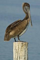 Immature Brown Pelican (Pelecanus occidentalis), Marathon, Florida (Peter Cook UK) Tags: brown florida marathon pelican immature occidentalis pelecanus