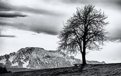 Schwarz-Wei (novofotoo) Tags: bayern deutschland natur alpen fotoeigenschaften abtsdorfersee swfoto saaldorfsurheim solitrerbaum
