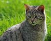 european wild cat Anholt JN6A8736 (j.a.kok) Tags: cat kat wildcat anholt wildekat europeanwildcat europesewoldekat