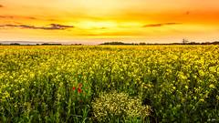 Couchant sur le Colza (Stphane Slo) Tags: sunset france reflection clouds landscape eau pentax hiver nuages paysage reflexion hdr coucherdesoleil sane pentaxk3ii