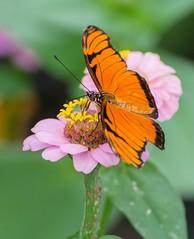 Orange Longwing (tkclip47) Tags: orange flower nature butterfly zinnia longwing