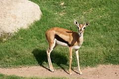 Gacela Thompson (Sandra SCS) Tags: africa valencia animal fauna thompson gacela bioparque bioparc