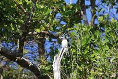 White-bellied Cuckoo-shrike (6) (sixdos) Tags: nature birds fauna canon queensland missionbeach biodiversity tropicalnorthqueensland southmissionbeach farnorthqueensland coracinapapuensis whitebelliedcuckooshrike australiannativefauna canoneos7dmarkii missionbreaze kennedywalkingtrack kennedyesplanade