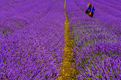 2012_MG_3012-Edit.jpg (JimT49) Tags: flowers england garden colours purple unitedkingdom lavender ickleford