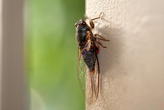 Red Tree-ticker (dustaway) Tags: nature cicada australia nsw arthropoda sapphirebeach insecta hemiptera cicadidae midnorthcoast australianinsects cicadettini cicadettinae birrima birrimacastanea redtreeticker
